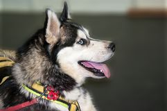 Cão de puxar trenós Siberian da raça do cão Foto de Stock