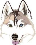 cão de puxar trenós Siberian da raça do cão com olhos diferentes ilustração do vetor
