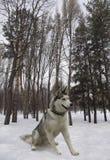 cão de puxar trenós Siberian de assento da raça do cão Fotos de Stock