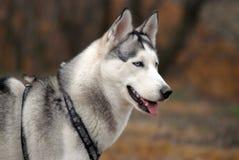 Cão de puxar trenós siberian de olhos azuis Imagens de Stock