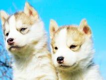Cão de puxar trenós Siberian do cachorrinho Imagem de Stock Royalty Free