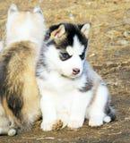 Cão de puxar trenós Siberian do cachorrinho Foto de Stock Royalty Free