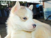 Cão de puxar trenós Siberian do cachorrinho Fotos de Stock