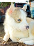 Cão de puxar trenós Siberian do cachorrinho Foto de Stock
