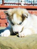 Cão de puxar trenós Siberian do cachorrinho Imagens de Stock