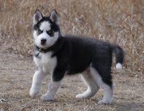 Cão de puxar trenós Siberian do cachorrinho do cão foto de stock royalty free