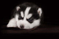 Cão de puxar trenós Siberian do cachorrinho pequeno, retrato do close-up imagens de stock royalty free