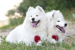 Cão de puxar trenós Siberian do samoyed de dois cães no parque no verão da grama fotografia de stock