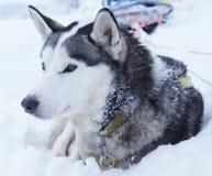 Cão de puxar trenós Siberian em Finlandia do norte Lapland Fotografia de Stock