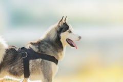 Cão de puxar trenós Siberian em Sunny Winter Day Foto de Stock