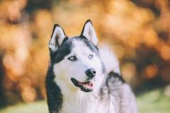 Cão de puxar trenós Siberian em Sunny Winter Day Fotografia de Stock Royalty Free