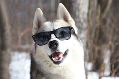 Cão de puxar trenós Siberian - modelo superior Imagens de Stock