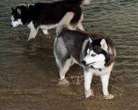 Cão de puxar trenós Siberian na água Foto de Stock Royalty Free