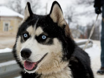 Cão de puxar trenós Siberian na cidade fotos de stock royalty free