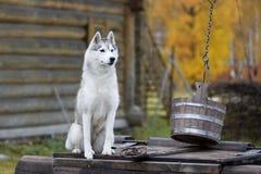 Cão de puxar trenós Siberian na natureza imagens de stock royalty free