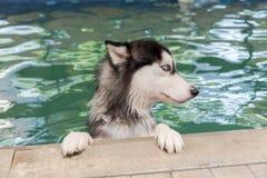 Cão de puxar trenós Siberian na piscina Foto de Stock Royalty Free