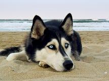 Cão de puxar trenós Siberian na praia Imagens de Stock Royalty Free