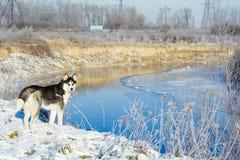 Cão de puxar trenós Siberian no inverno fotos de stock royalty free