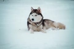 Cão de puxar trenós Siberian no inverno Foto de Stock Royalty Free
