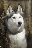 Cão de puxar trenós Siberian no outono Imagem de Stock