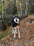 Cão de puxar trenós Siberian no passeio Fotografia de Stock Royalty Free