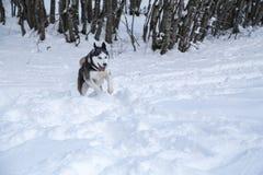 Cão de puxar trenós Siberian no selvagem Imagens de Stock