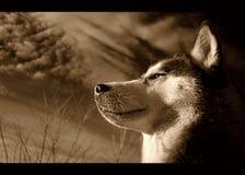 Cão de puxar trenós Siberian no sepia Fotografia de Stock