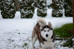 Cão de puxar trenós Siberian novo fora, jogando na neve imagem de stock