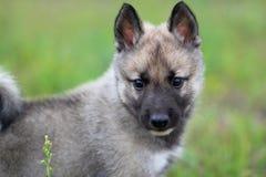 Cão de puxar trenós Siberian ocidental Imagens de Stock Royalty Free