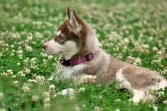 Cão de puxar trenós siberian pálido Fotografia de Stock Royalty Free