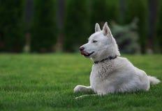 Cão de puxar trenós Siberian que encontra-se na grama Imagem de Stock