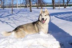 Cão de puxar trenós Siberian que encontra-se na neve Fotografia de Stock