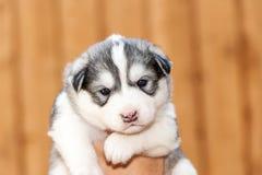 Cão de puxar trenós Siberian recém-nascido Foto de Stock