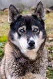 Cão de puxar trenós Siberian triste que espera para dominar imagem de stock