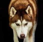 Cão de puxar trenós vermelho Foto de Stock Royalty Free