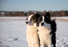 Cão de puxar trenós Yakut nas extensões de Yakutia foto de stock royalty free