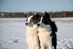 Cão de puxar trenós Yakut nas extensões de Yakutia foto de stock
