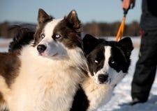 Cão de puxar trenós Yakut nas extensões de Yakutia imagens de stock