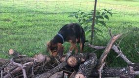 Cão de cão que descasca e que escala no woodpile filme