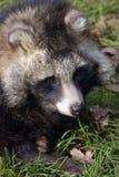 Cão de Raccoon Imagem de Stock