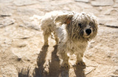 Cão de Rasta Imagem de Stock