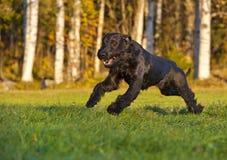 Cão de Reisenschnauzer Imagens de Stock Royalty Free