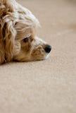 Cão de relaxamento imagem de stock