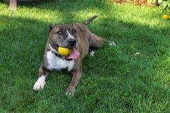 Cão de relaxamento Fotografia de Stock