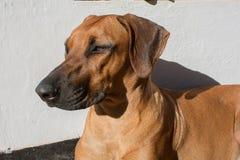 Cão de Rhodesian Imagens de Stock