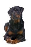 Cão de Rottweiler Foto de Stock Royalty Free