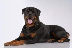 Cão de Rottweiler Foto de Stock