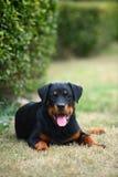 Cão de Rottweiler Fotos de Stock Royalty Free