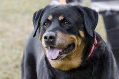 Cão de Rottweiler do alemão fotografia de stock
