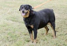 Cão de Rottweiler do alemão fotografia de stock royalty free